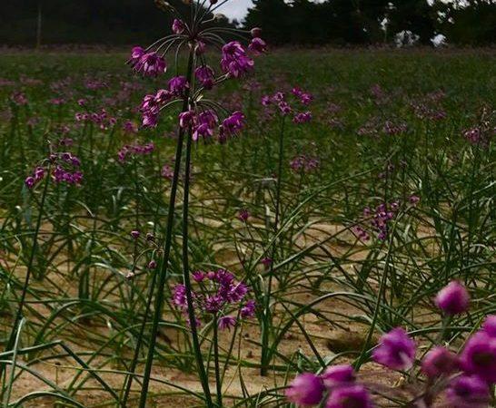 鳥取砂丘にラベンダー畑!?