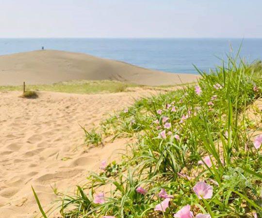 鳥取砂丘では、ハマヒルガオの花が見頃を迎えています!